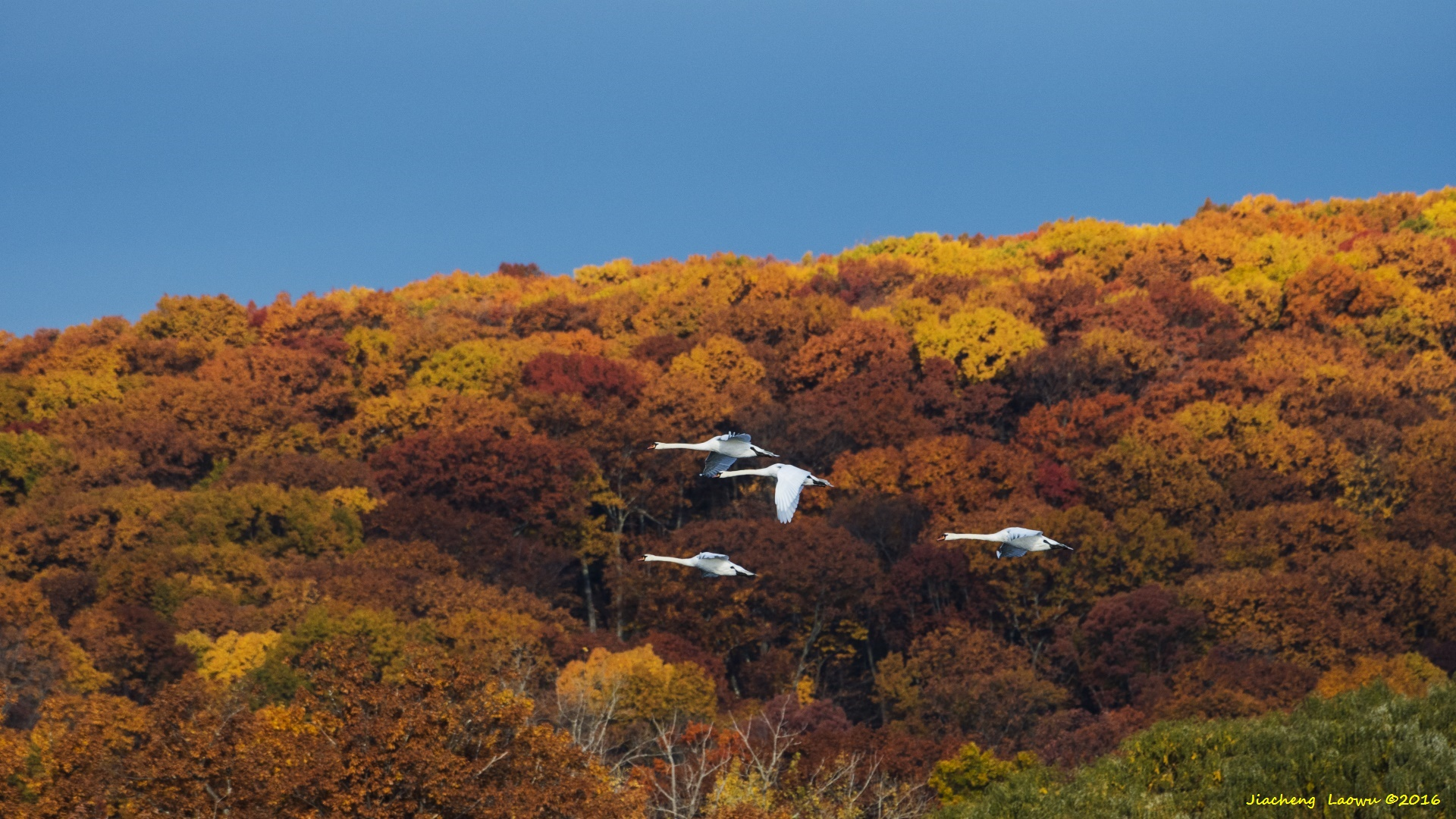 2016年的季节有点反常,往年这个时候, 树叶基本上都掉光了。 今年新英格兰地区的秋天异常得暖,秋天迟迟不肯给冬天让位, 树上的叶子也异常地坚挺,有的树叶竟然还是绿色。 蜜尔湖(Mill Pond)也不例外,在清晨的一片红云之后,周围的树木在朝阳的照射下,一片金黄的色调, 仿佛告诉人们这里依然是秋天,也仿佛向冬天发出了挑战。湖面不算小,形状不规则, 从地图上看像是个顽皮的猴子, 里面有上千只天鹅。天鹅属于疣鼻天鹅(Mute Swan),是一种普通的天鹅,它的身子是白色,嘴巴是桔黄色的, 与极地天鹅的黑色嘴